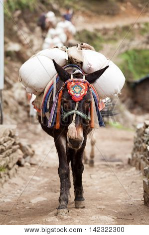 Close-up an mule caravan on route to Namche Bazar Dudh Kosi valley Solu Khumbu Nepal.