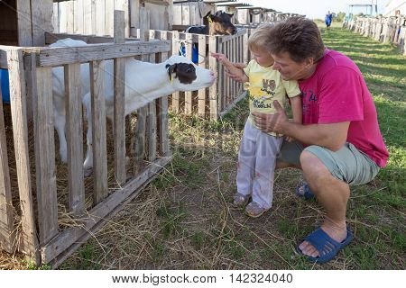 Gomel, Belarus - July 10, 2016: Auteuil Introduces His Son With A Small Calf In Gomel, Belarus.