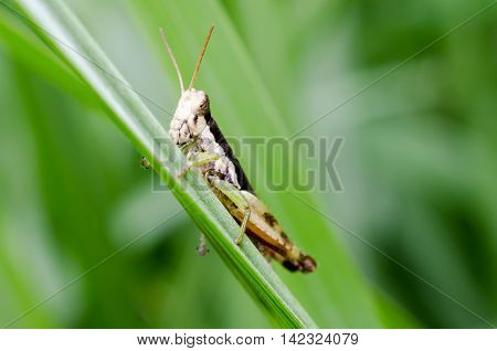 The green grasshopper sits on a grass