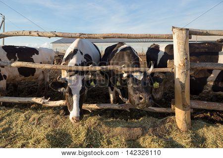 Gomel, Belarus - July 10, 2016: Cows On A Farm In A Pen Behind A Fence Eating Silage In Gomel, Belar