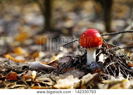 Amanita poisonous mushroom in the forest close-up