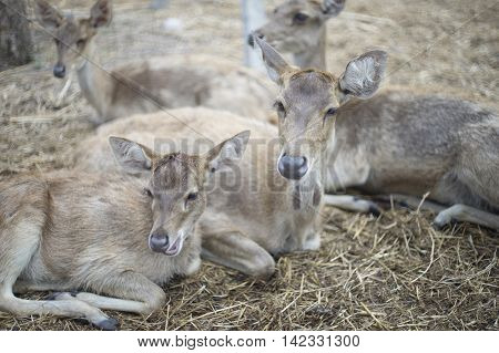 portrait of deer's laying on a dry grass floor