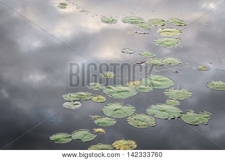 Lily Pads With Reflection Of Clouds On The Water