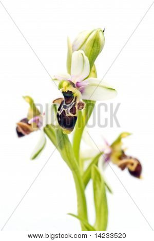 Orchid highkey - Woodcock Orchid