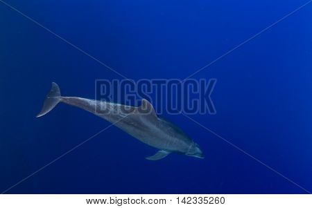 Bottlenose Dolphin at Islas Revillagigedos in Mexico