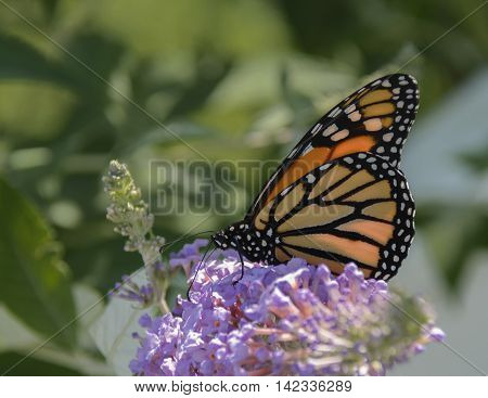 A Monarch butterfly  (Danaus plexippus) perched on a butterfly bush, shown in profile.