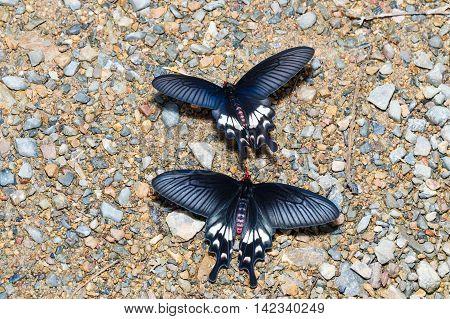 Adamson's Rose Butterfly (byasa Adamsoni) Sucking Food From Wet Grpund