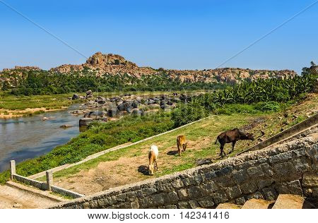 Cows grazing on the Hampi's river bank India