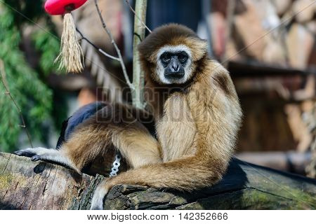 Portrait of White-handed gibbon in nature (Hylobates lar).