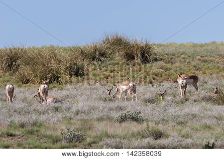a small group of pronghorn antelope on the prairie
