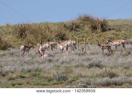 a herd of pronghorn antelope on the prairie