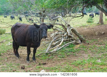 black cow in a field, herd grass and tree