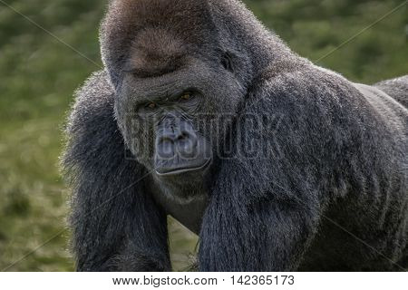 Close up head and face image of a silverback gorilla looking menacingly forward towards the camera