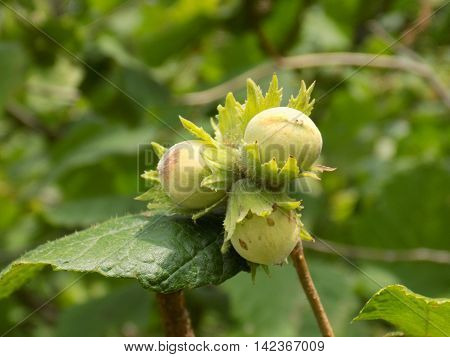Immature hazelnuts on tree in forest in wild nature