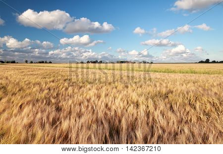 wheat field and blue sky in sunny summer day