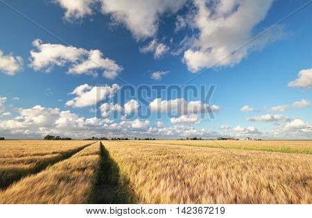 wheat field and blue sky during sunny summer day