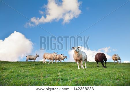 sheep on pasture and blue sky Holland