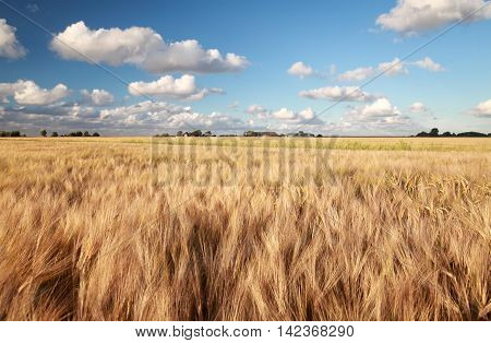 golden wheat field and blue sky in summer