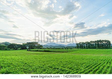 Green Potato field farm under dramatic sky