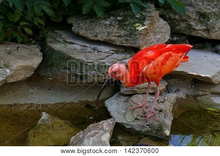 Scarlet Ibis Eudocimus Ruber At The Edge Of Water