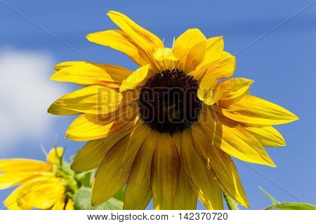 Flower Sunflower And Bumblebee