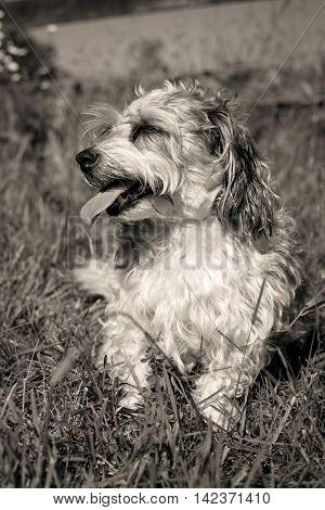 Sweet little fluffy mutt sitting in grass looking left in sepia
