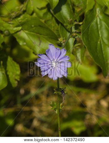 Common Chicory Cichorium intybus flower on stem with blurred background macro selective focus shallow DOF