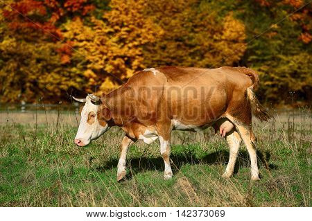 Single cow grazes near colorfull Autumnal forest. nature background.