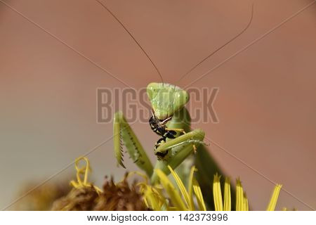The Female Praying Mantis Devouring Wasp