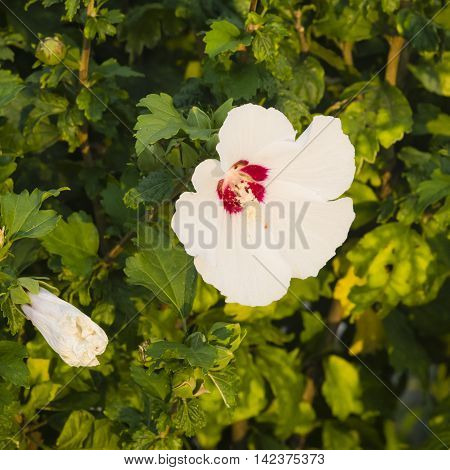 Rose Mallow or Syrian ketmia Hibiscus syriacus flower close-up in sunset light selective focus shallow DOF