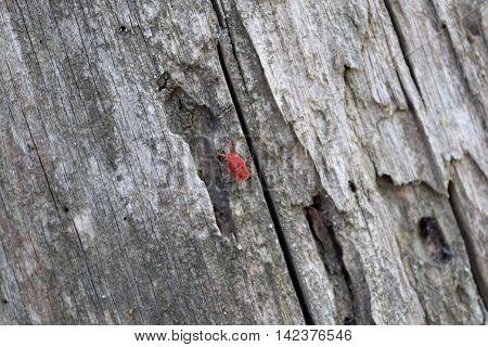 Trombidiidae On Tree Bark