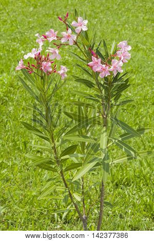 Pink flowers of Nerium Oleander on shrub close-up with bokeh background selective focus shallow DOF