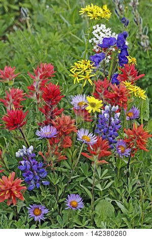 close up of sublpine meadow with variety of wildflowers