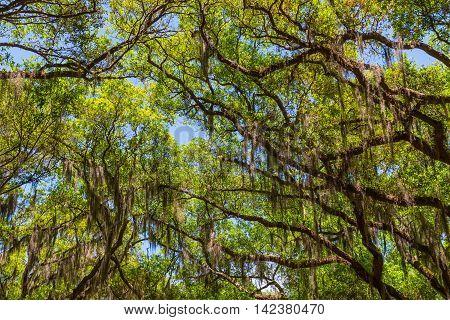 Canopy of old live oak trees draped in spanish moss. Savannah Georgia USA