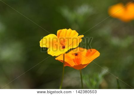 Flowers of the California Poppy (Eschscholzia californica).