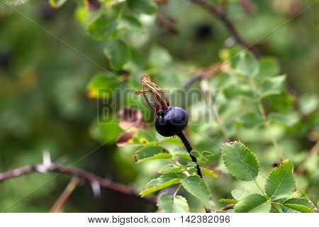 Black hips of the burnet rose (Rosa spinosissima)