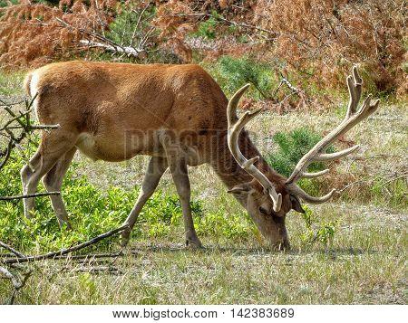 Red deer stag (Cervus elaphus) grazing in a woody pasture