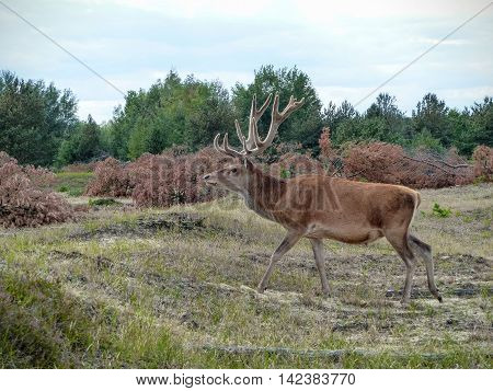 Red deer stag (Cervus elaphus) walking across a heath