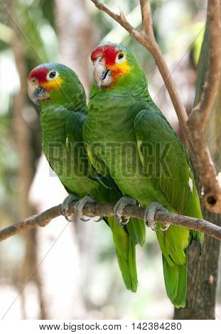 Mexican parrots couple on the brunch, Mexico