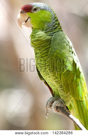 The wild bright green cheeked mexican parrot