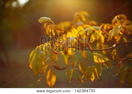 Photo sheet at sunset close up in warm colours macro bokeh Close up Leaf Backlit Silhouette Sun rays light between walnut branches