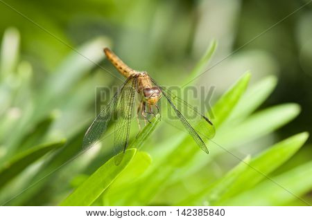 Common Parasol (Neurothemis fluctuans) dragonfly is resting on a green leaf