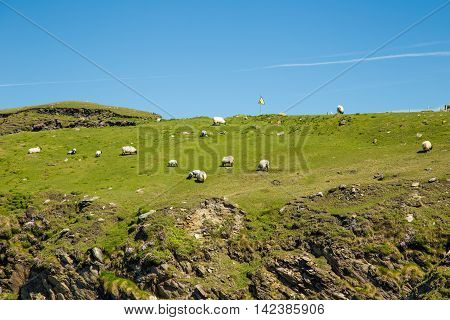 Sheep and rams in Achill Island - Ireland