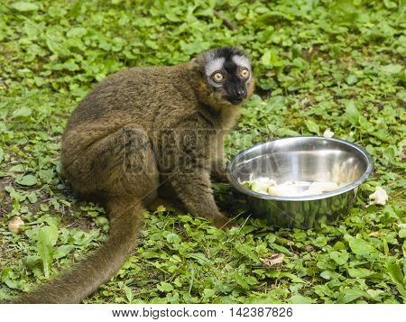 Funny photo of red-fronted lemur Eulemur fulvus rufus sitting near metal bowl with fruit and vegetables. Close-up portrait selective focus shallow DOF.