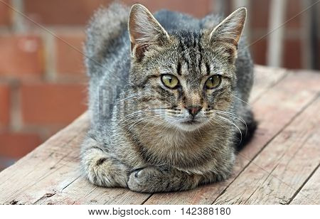 Single purebred gray striped cat lying on a wooden table. Portrait of a cat with selective focus.