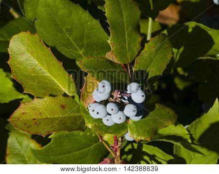 Oregon grape Mahonia aquifolium berries with leaves macro selective focus shallow DOF