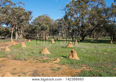Termite mounds in rural Western Australian farmland landscape with green trees under a clear blue sky.