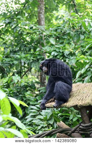Black colored Siamang also known as lesser ape a special species which only exists in South East Asia