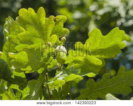 Riping green acorn and leaves on oak quercus close-up selective focus shallow DOF