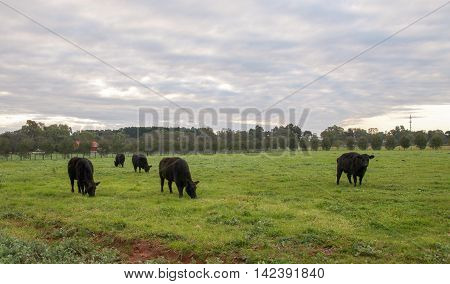 Black cows grazing in green rural farmland pasture in the Swan Valley of Western Australia at dusk.
